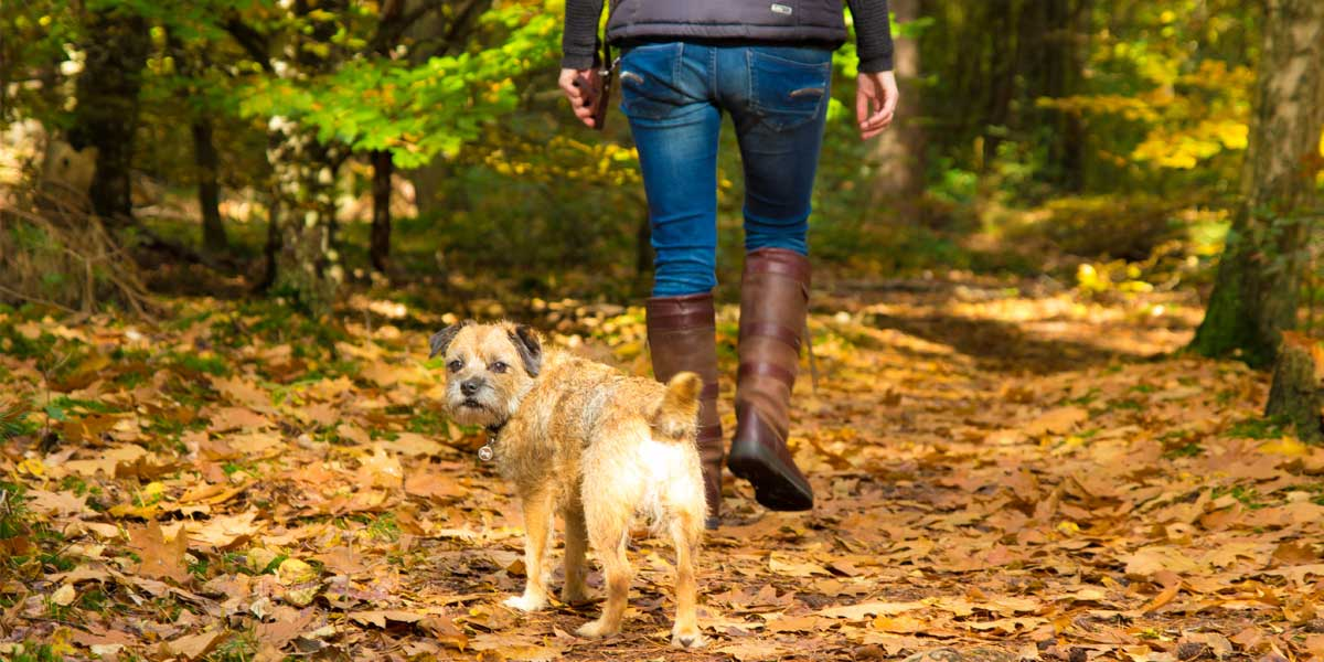 A lady walking her bordr terrier dog through a forest